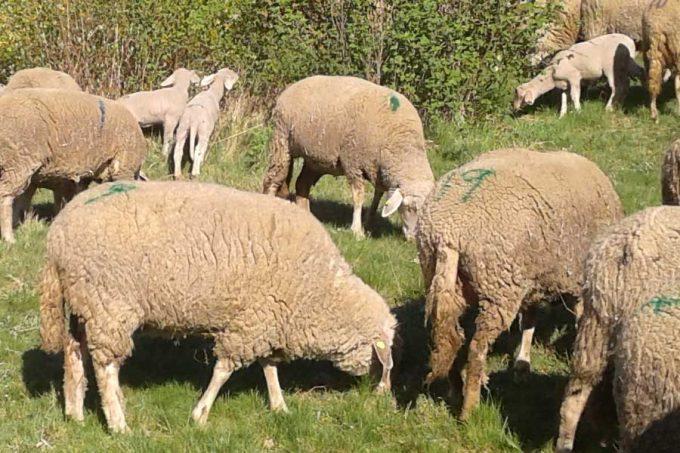 Schafe und Schafslämmer